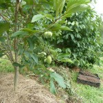 Mature fruit bearing Pawpaw tree!