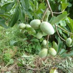 Pawpaw tree and fruits